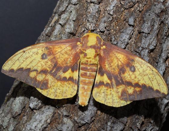 moth - Eacles imperialis