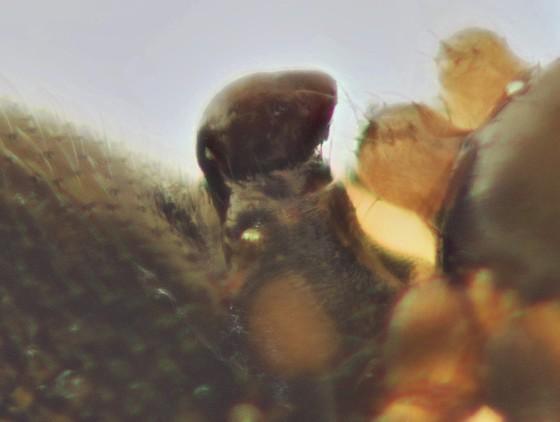 Linyphiid - Mermessus trilobatus - female