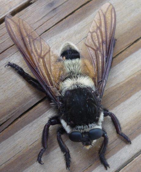 Mallophora - Mallophora bomboides