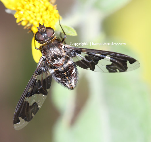 Bee Fly - Exoprosopa dorcadion
