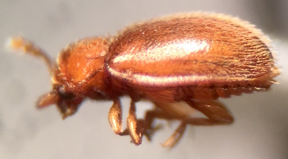 Anamorphidae, Symbiotes gibberosus? - Symbiotes gibberosus