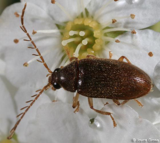 Ptilodactylidae - Ptilodactyla - male