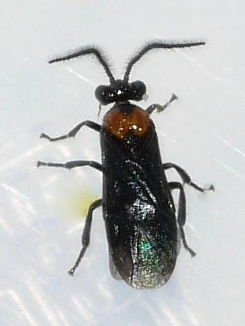 Sawfly - Atomacera decepta - male