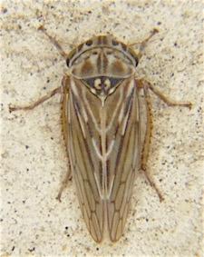 Ceratagallia californica? - Ceratagallia