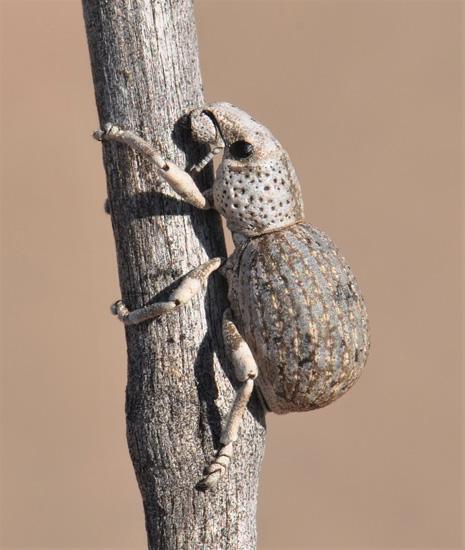 beetle - Ophryastes