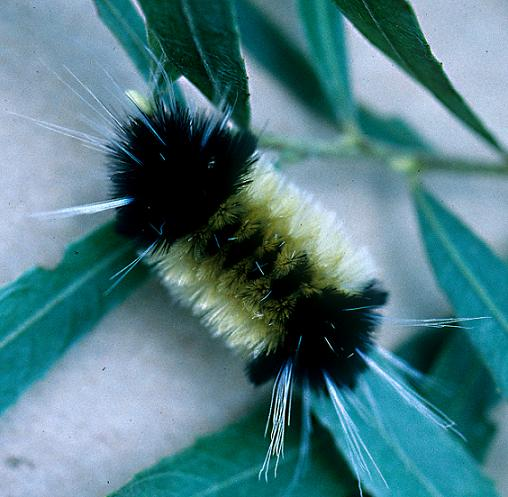Spotted Tussock Larva, 5th Instar - Lophocampa maculata