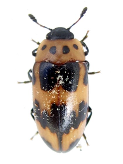 beetle - Ischyrus quadripunctatus