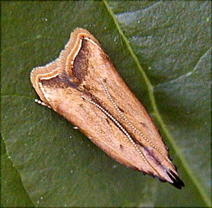 moth04 - Dichomeris heriguronis