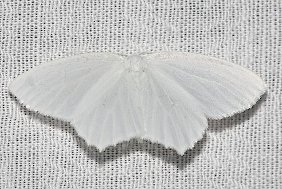 Snowy Geometer - Hodges#6965 - Eugonobapta nivosaria