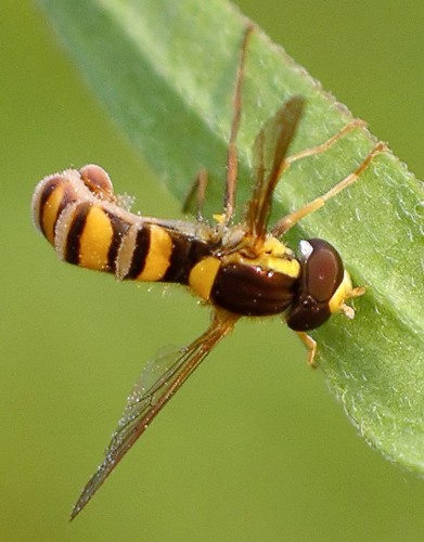fungus-ridden fly - Sphaerophoria