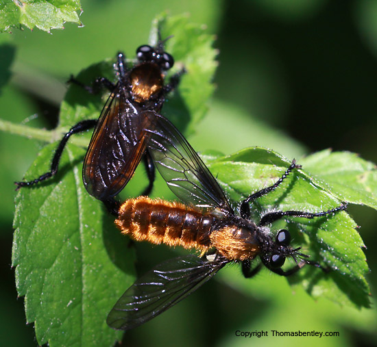 Robberfly - Laphria - male - female