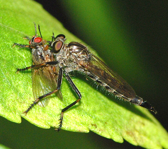 Robber Fly with prey - Machimus notatus - female