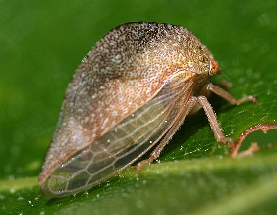 Marbled Treehopper - Cyrtolobus fuliginosus