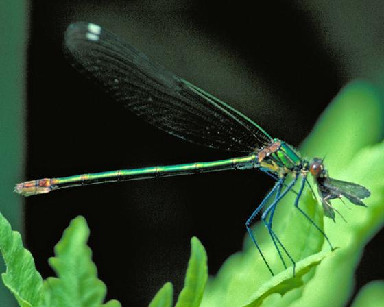 Superb Jewelwing in New Brunswick, eating caddisfly - Calopteryx amata - female