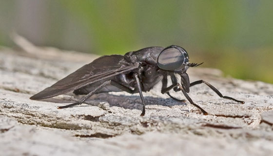 BlackHorsefly_Tabanus_sp_050692007_AR_ - female