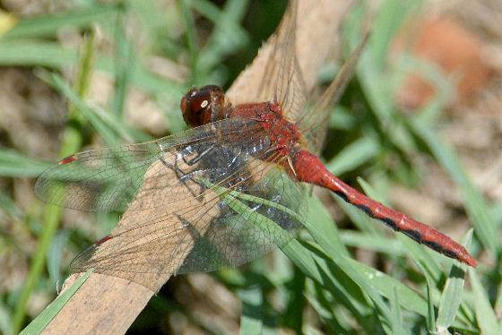 Cherry-faced Meadowhawk ?? - Sympetrum internum