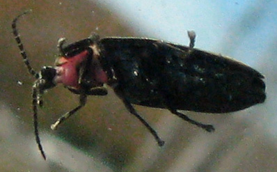Firefly on truck windshield - Ellychnia corrusca