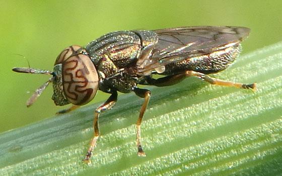 Golden Fly July 7 - Orthonevra nitida - male