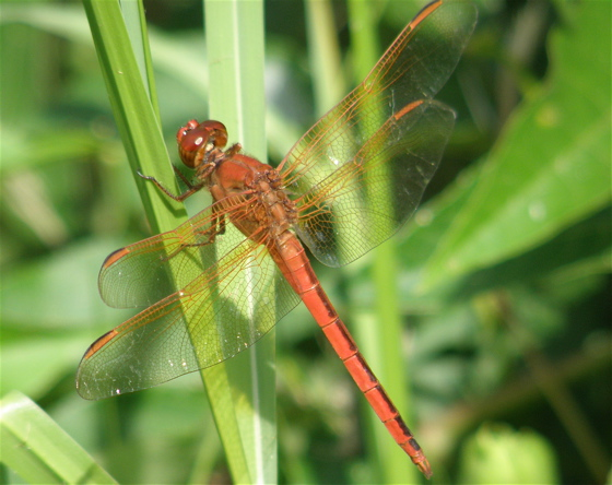 Skimmer - Libellula needhami - male