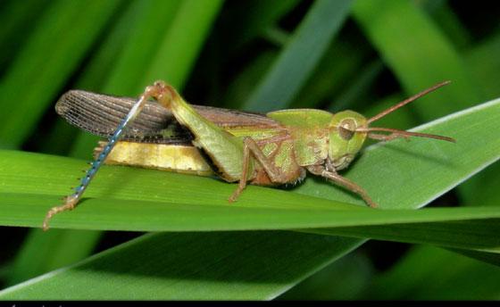 Blue-legged grasshopper - Chortophaga viridifasciata - male