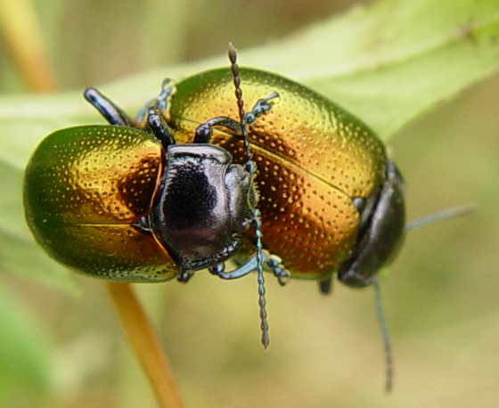 Chrysomelidae - Chrysolina auripennis - male - female