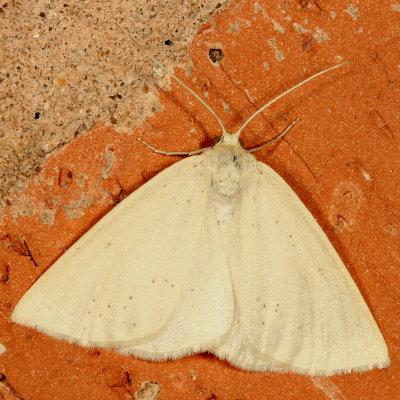 moth - Lychnosea intermicata - female