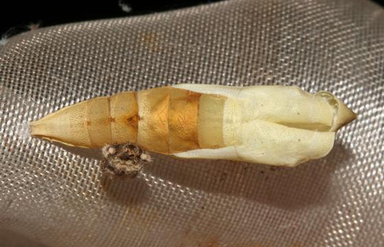 Orange Sulphur, spent pupal case - Colias eurytheme