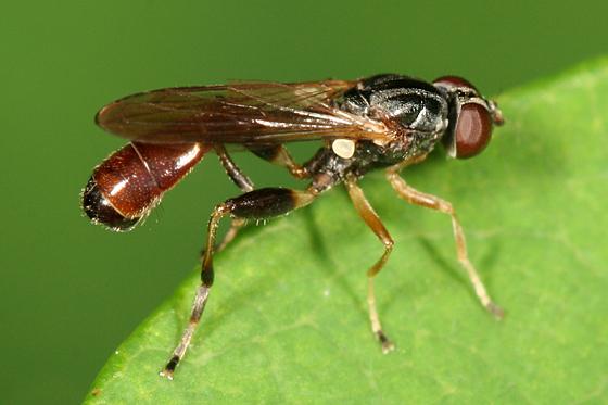 syrphid fly - Sphegina