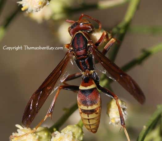 Wasp - Polistes dorsalis - male
