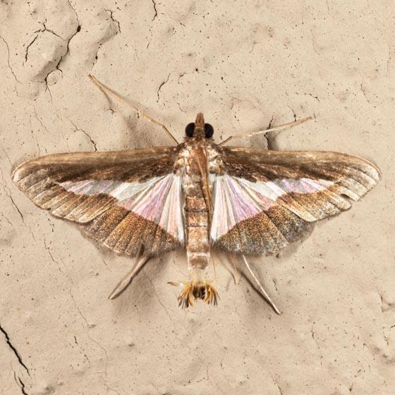Diaphania Moth - Diaphania modialis