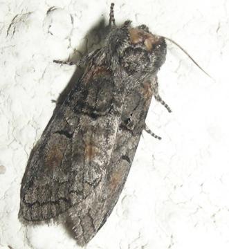 Moth # 07-252 - Afilia oslari
