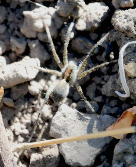 Alopecosa spp? @5500 ft ASL in No. Nevada