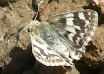 Northern White Skipper - Heliopetes ericetorum - Heliopetes ericetorum - female