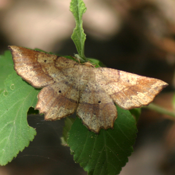 Leaf-Shaped Moth  - Euchlaena deplanaria