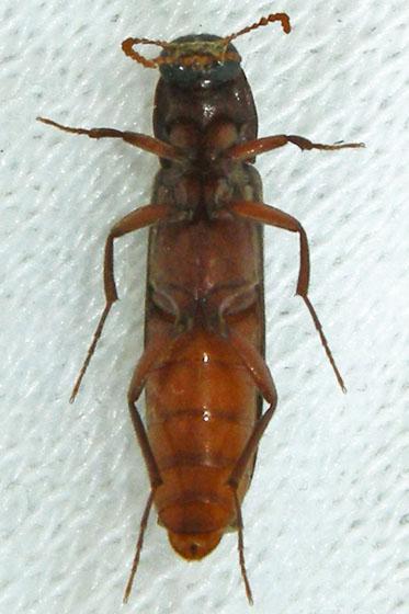 Beetle - Melittomma sericeum - female