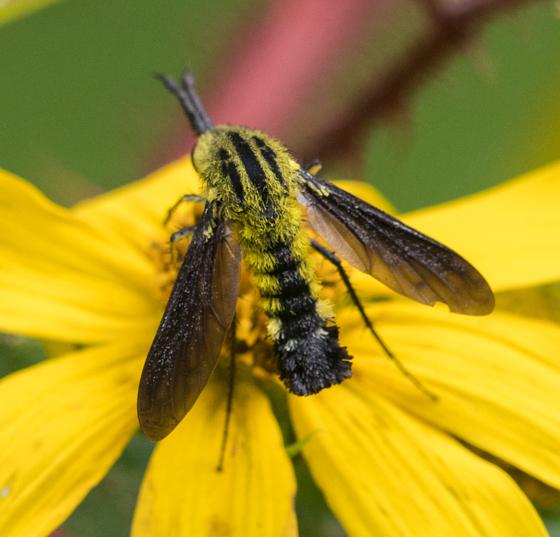 Lepidophora lutea? - Lepidophora lutea