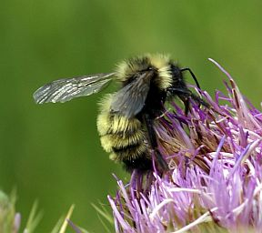 Unknown Bee - Bombus insularis - male