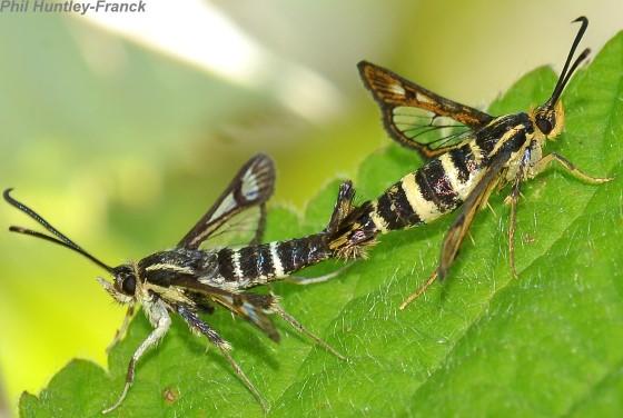 Moth - Synanthedon bibionipennis - male - female
