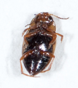 tentative ID - Liodessus - Liodessus