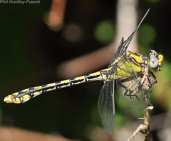 sinuous snaketail - Ophiogomphus occidentis? - Ophiogomphus occidentis - male