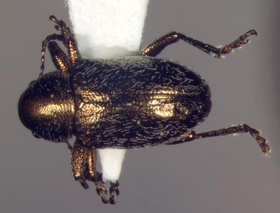 Chrysomelidae, Graphops pubescens - Graphops pubescens