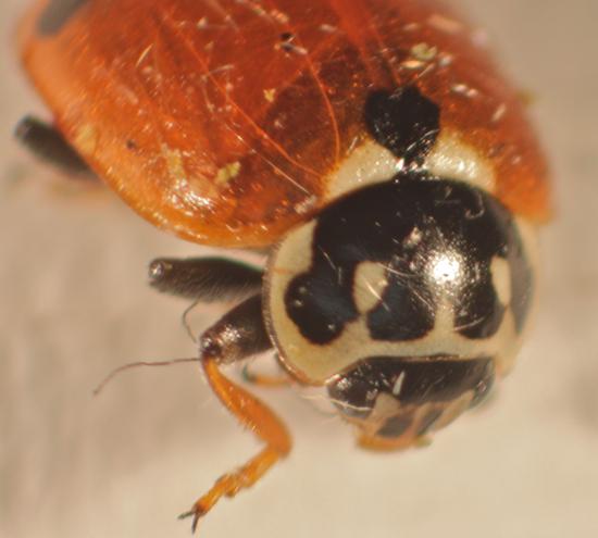 Cycloneda munda with spots? - Hippodamia variegata