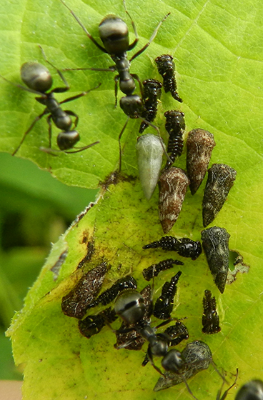 Ants tending planthoppers - Publilia concava