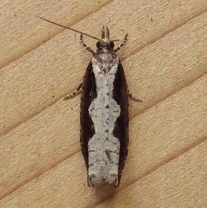 Tortricidae: Epinotia lindana - Epinotia lindana