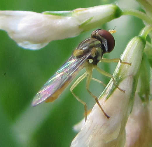 fly on clover flower - Toxomerus