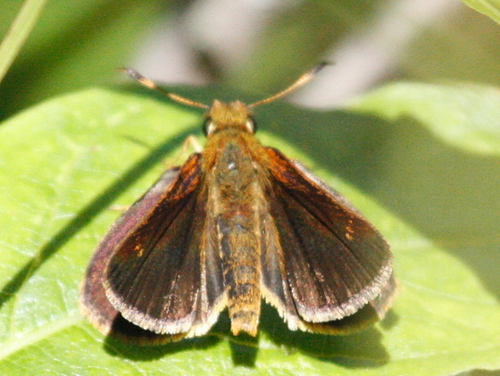 Butterfly #3 at Great Swamp NJ - Poanes massasoit - male