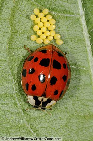 Asian ladybird beetle laying eggs - Harmonia axyridis