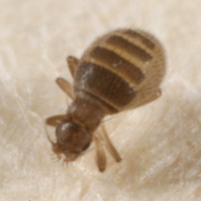 tiny wingless fly? - Puliciphora