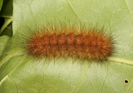 Erebidae, Pink-legged Tiger, larva on Ash - Spilosoma latipennis