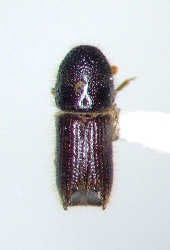 Ips latidens - Orthotomicus latidens